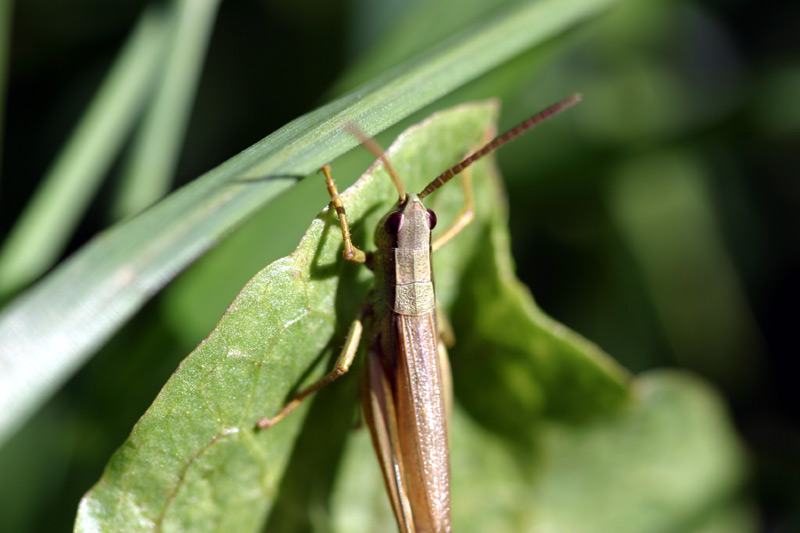 Finnish Grasshopper