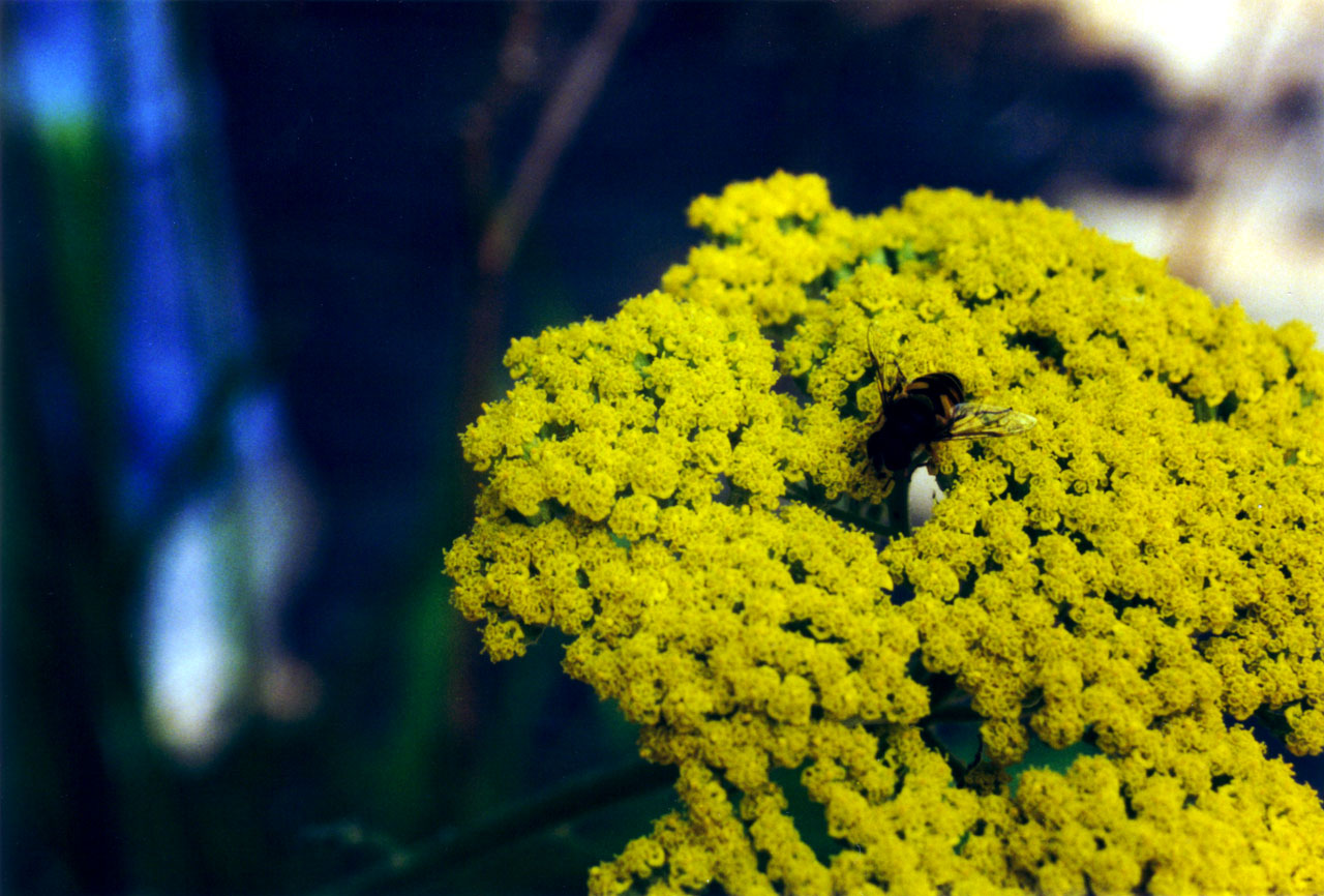 Bee on Yellow
