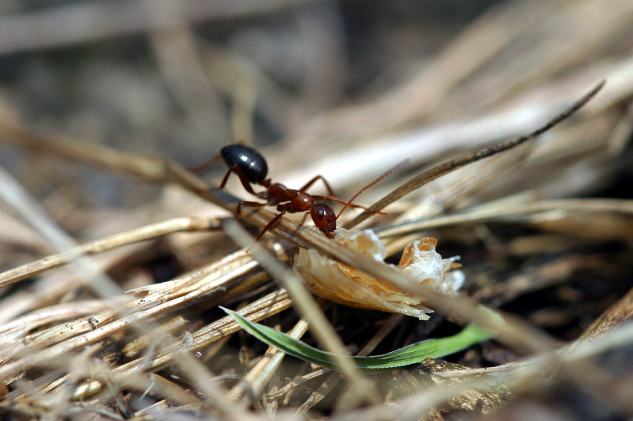 Ant Carrying Bread